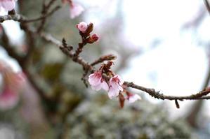 桜と雪 -