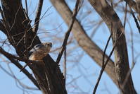 またまた…【コチョウゲンボウ・ベニマシコ・カシラダカ・アオジ・ホオジロ】 - 鳥観日和