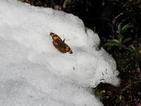 初蝶ニュース第1号 - こどもとむしの秘密基地:佐用町昆虫館