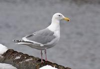 Glaucous-winged Gull - AVES