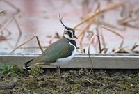 Northern Lapwing - AVES