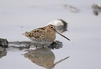 Common Snipe - AVES