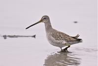 Long-billed Dowitcher - AVES