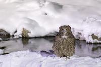 2019道東の野鳥巡り④シマフクロウ~コタン・コロ・カムイ~ - ひとり野鳥の会