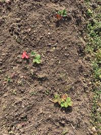イチゴの苗 - 「今日の一枚」