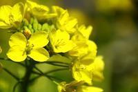 菜の花が可愛く - gracefully heart