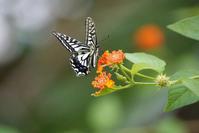 ランタナの花にナミアゲハ - TOM'S Photo