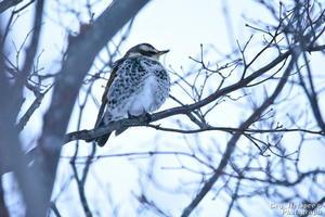 街路樹の鳥 -