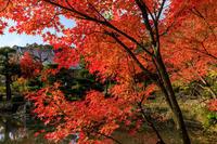 京の紅葉2018法金剛院・紅葉と嵯峨菊 - 花景色-K.W.C. PhotoBlog