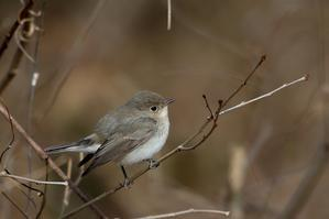 可愛らしさNO.1.. オジロビタキ - T/Hの野鳥写真-Ⅲ