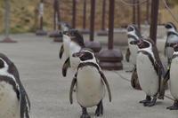 ペンギン散歩 - 動物園へ行こう