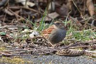 カヤクグリ - ごっちの鳥日記
