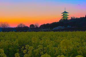 夕焼け菜の花 -