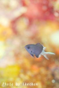 密かな被写体力~シコクスズメダイ幼魚~ - 池ちゃんのマリンフォト