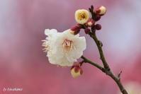 梅小路公園の梅林 - 「古都」大津 湖国から