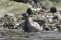 ★ツグミが見やすくなりました。クイナも時々・・・先週末の鳥類園(2019.2.16~17) - 葛西臨海公園・鳥類園Ⅱ
