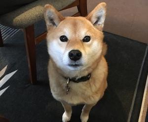 きちっ - アトリエkotori*のほほん柴犬日和
