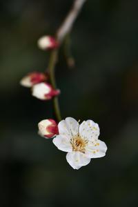梅のいいところ☆彡 - DAIGOの記憶