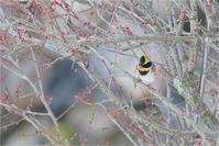 雪が積もった@ミヤマホオジロ - とことんデジカメ