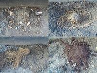 アスパラガス植え替え - NATURALLY