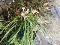 <キルタンサス> - 【出逢いの花々】