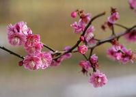 梅の花は望遠レンズで撮る古いツアイスレンズの楽しさ - 一人の読者との対話