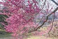 もちろん、梅の花は広角レンズでも撮ることができる古いカメラと安いレンズ - 一人の読者との対話