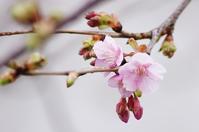 河津桜ノスリ - 生きる。撮る。
