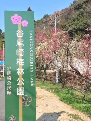 谷尾崎梅林公園と現代美術館と月の雪さんcoRRierさん蔦屋書店出店中とスタバのサクラ - ひよこ雑貨店(7冊目)