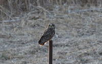 コミミズクその6(久しぶりに飛んでくれました) - 私の鳥撮り散歩