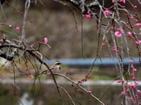 梅にミヤマホオジロ壱 - 下手の横好き