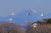 男体山をバックに白鳥の群れが飛ぶ!・・・という図案♪ - 『私のデジタル写真眼』