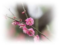 後楽園の春告草 - ひとりあそび