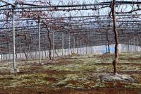 霜氷の朝 - ~葡萄と田舎時間~ 西田葡萄園のブログ
