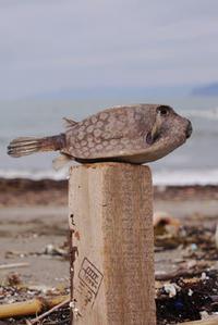 ハコフグ - Beachcomber's Logbook