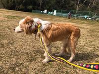 ベルちゃんとサポートボランティアに参加 - 犬との穏やかな日々