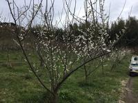 梅の花 - 自然栽培 果樹カナン