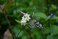 ウツギの花にオオゴマダラ - TOM'S Photo