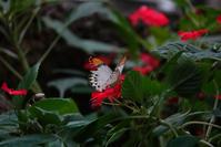 赤い花にツマベニチョウ - TOM'S Photo