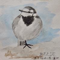 #野鳥スケッチ #ネイチャー・ジャーナル 『ハクセキレイ』White Wagtail - スケッチ感察ノート (Nature journal)