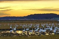夕暮れの白鳥達2019-03-19更新 - 夕陽に魅せられて・・・