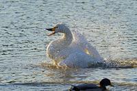 白鳥の水浴び2019-03-22更新 - 夕陽に魅せられて・・・