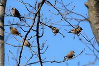 ■カワラヒワの群れ19.2.18 - 舞岡公園の自然2