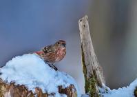 オオマシコ♀ - 今日も鳥撮り