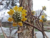 三椏 - だんご虫の花