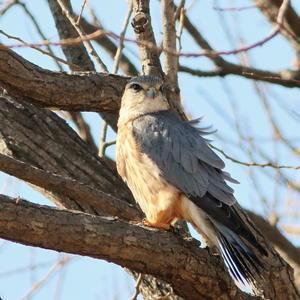 やっと出逢えたコチョウゲンボウ♂ Ⅱ  YMS - シエロの鳥ノート