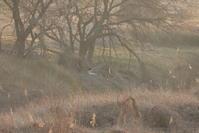 ハイイロチュウヒその22(遠く逆光で) - 私の鳥撮り散歩