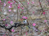 梅にミヤマホオジロ弐 - 下手の横好き