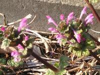 ホトケノザが咲いています - ながいきむら議員のつぶやき(日本共産党長生村議員団ブログ)