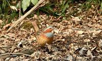 コジュケイ - barbersanの野鳥観察
